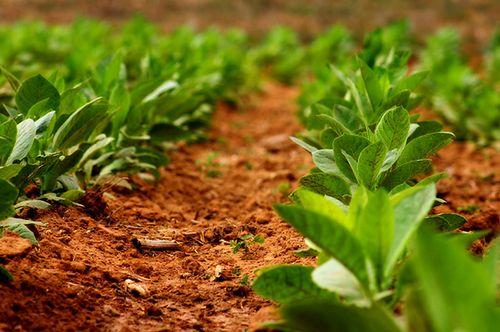 Как вырастить табак для курения на огороде - пошаговая инструкция!