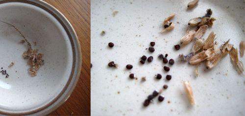 Лаванда южанка выращивание из семян дома 776