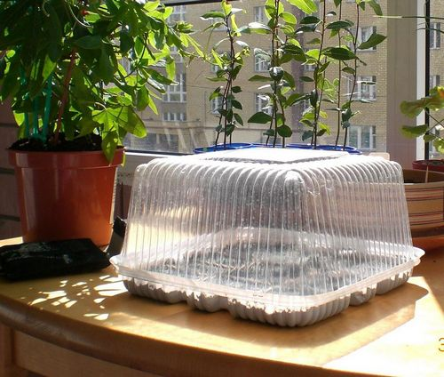 Лаванда южанка выращивание из семян дома 486