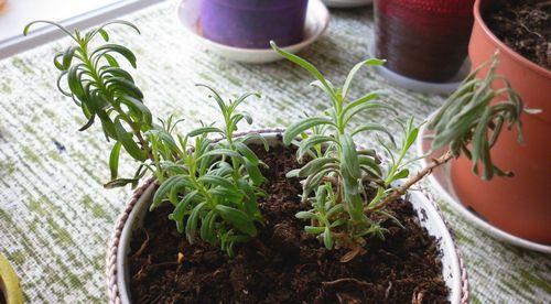 Лаванда южанка выращивание из семян дома 986