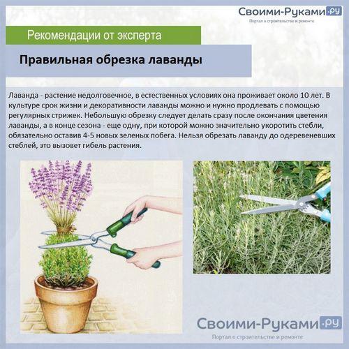 Лаванда южанка выращивание из семян дома 818