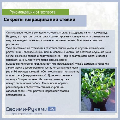 Стевия выращивание как бизнес 6